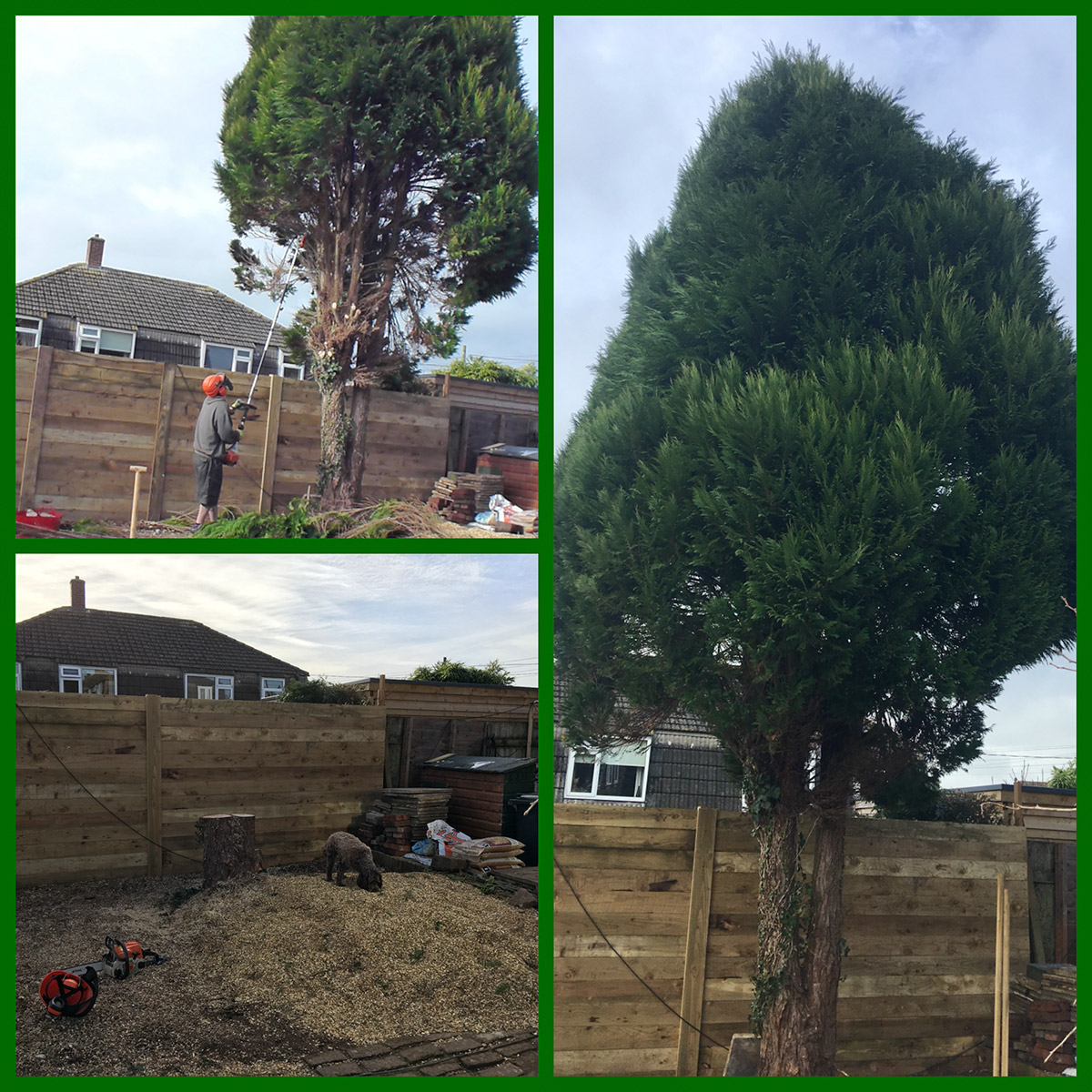 Conifer removal